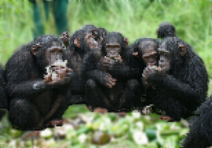 chimp sharing